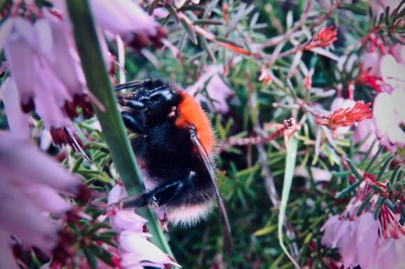 Grumpy bumblebee, 21/2/19