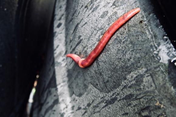 Earthworm, 7/3/19