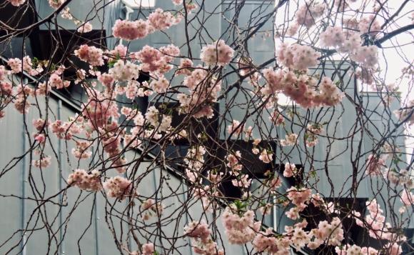 EWB courtyard blossom, 21/3/19