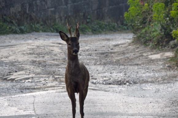 Deer, Mayroyd Lane, 19/4/19