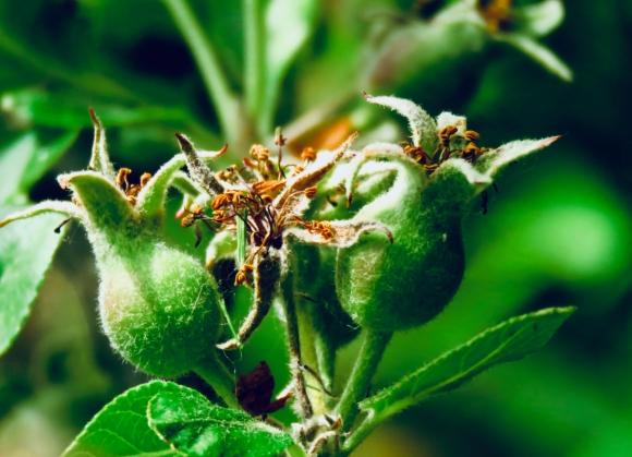 Baby apples, 25/5/19