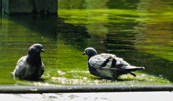 Bathing pigeons, 20/5/19
