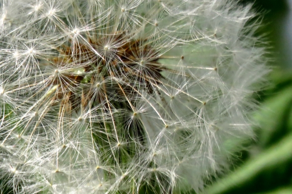 Dandelion head, 17/5/19