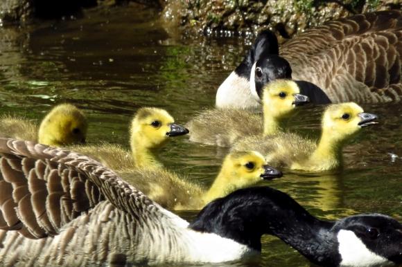 Goose family, 15/5/19