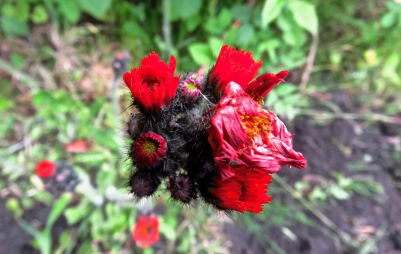Allotment flower, 15/6/19