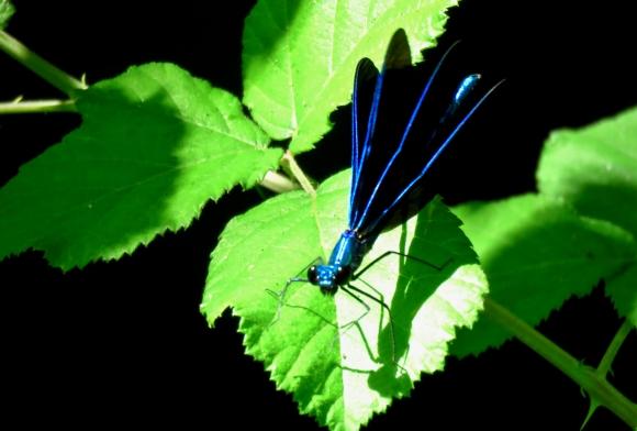 Blue dragonfly, 6/6/19