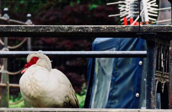 Muscovy duck, 12/6/19
