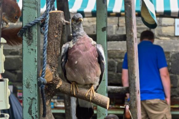 Stuffed pigeon, 26/7/19