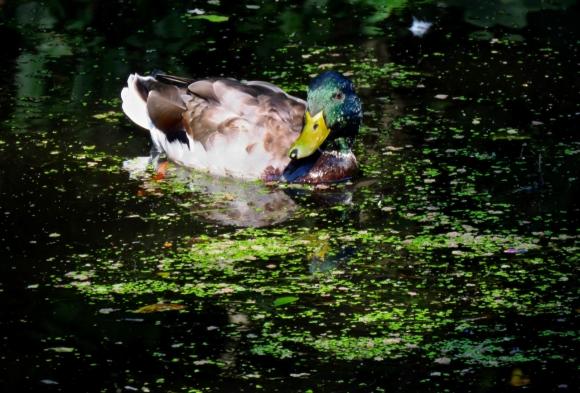 Huddersfield duck, 21/3/19