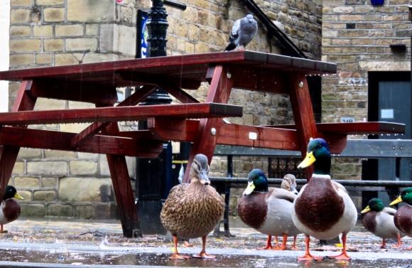 Pigeon surveillance, 11/10/19
