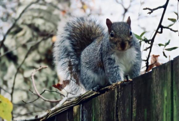 Manchester squirrel, 21/11/19