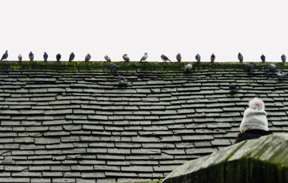 Pigeon battalion, 20/12/19