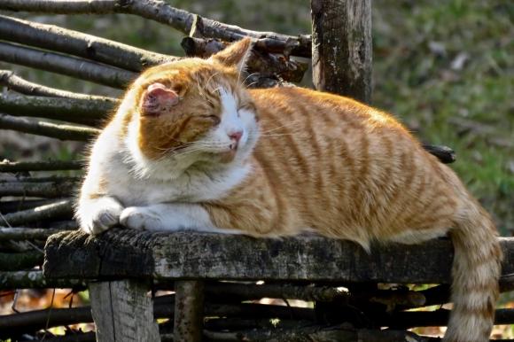 Romanian cat, 1/2/20