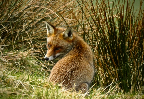 Fox above Kentmere, 4/3/20