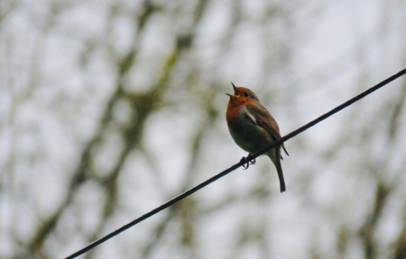 Robin on wire, 30/3/20
