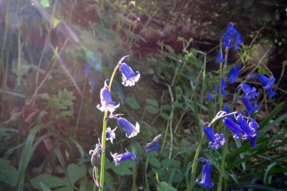 Bluebells, 20/4/20