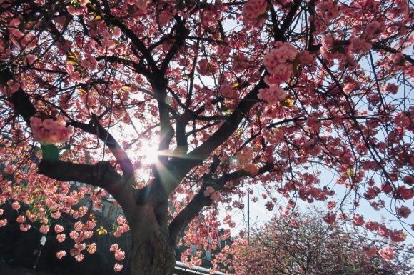 Cherry blossom, 15/4/20