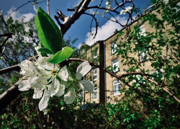 Plum blossom, 8/4/20