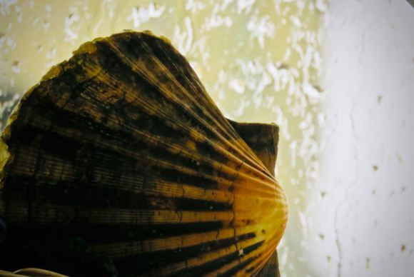 Scallop shell, 3/4/20