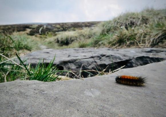Caterpillar on Pennine Way, 4/5/20