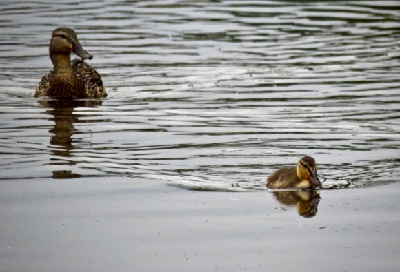Duck and duckling, 7/6/20