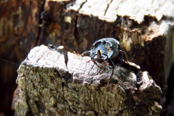 Horned beetle, 15/6/20