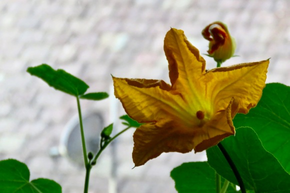 Squash flower, 22/6/20
