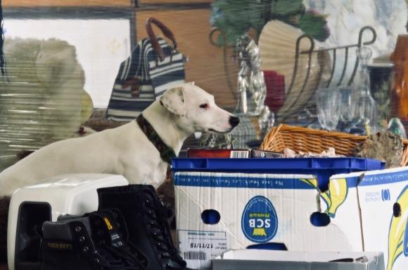 Dog on stall, 14/8/20