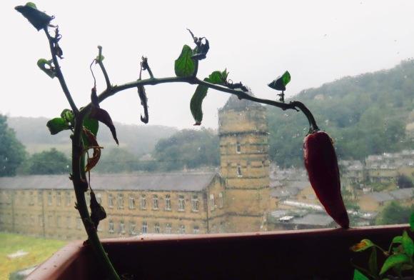Overburdened chilli, 4/8/20