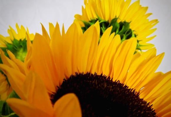 Sunflowers, 31/8/20