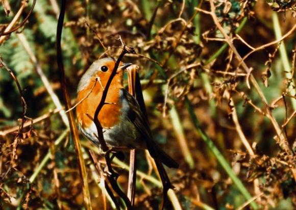 Incognito robin, 14/9/20