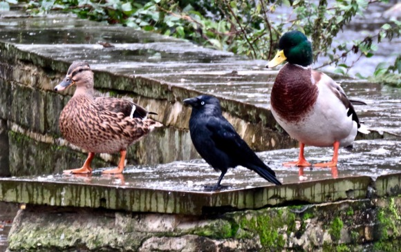 Jackdaw and ducks, 23/9/20