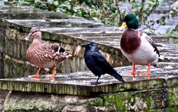Jackdaw and ducks, 23/9/20