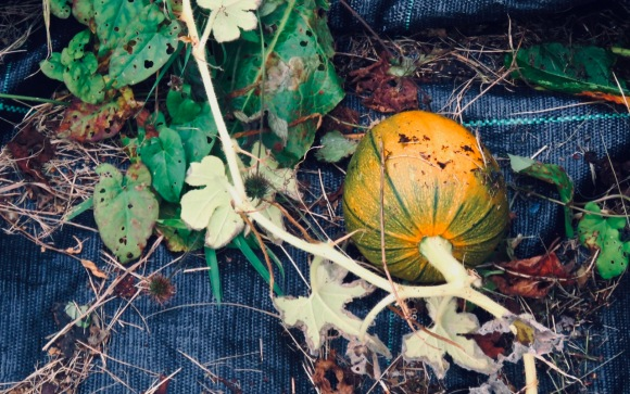 Growing pumpkin, 1/10/20