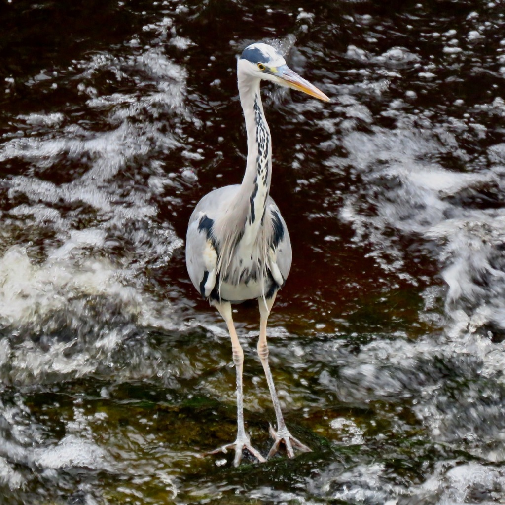 Maris the heron, 5/11/20