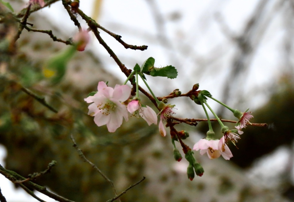 Winter flowering cherry, 11/11/20