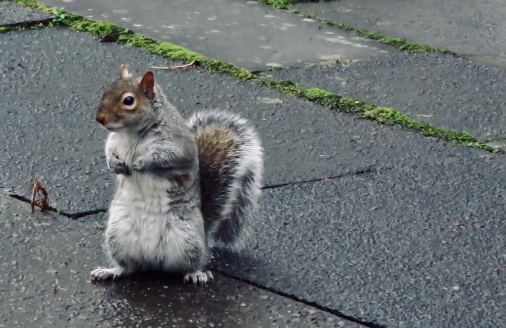 Campus squirrel, 14/1/21