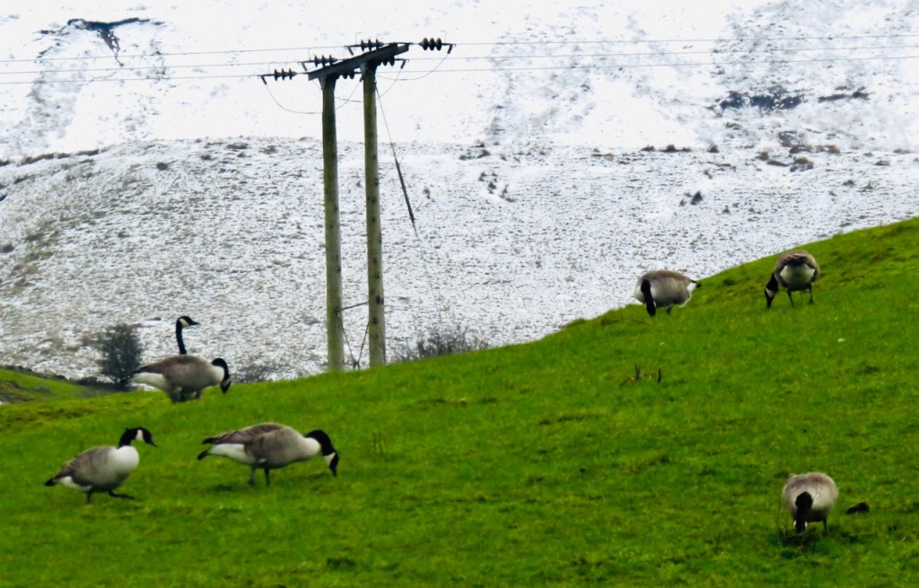 Geese and snow, 7/2/21
