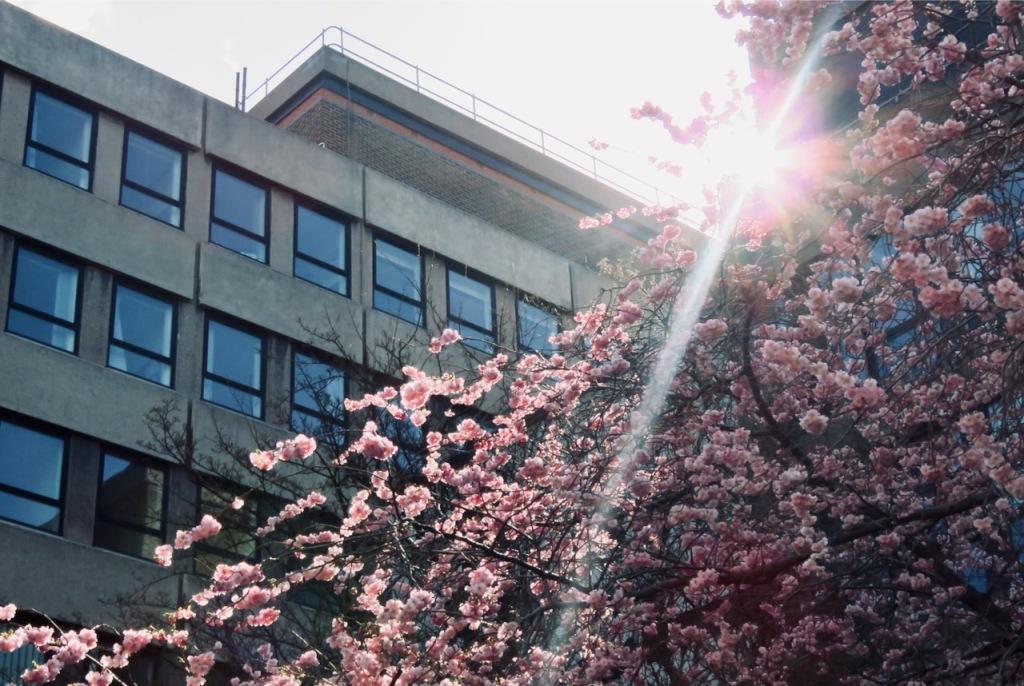 Courtyard blossom, 24/3/21