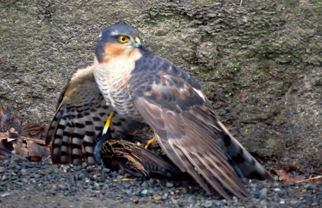 Hawk with prey, 5/3/21