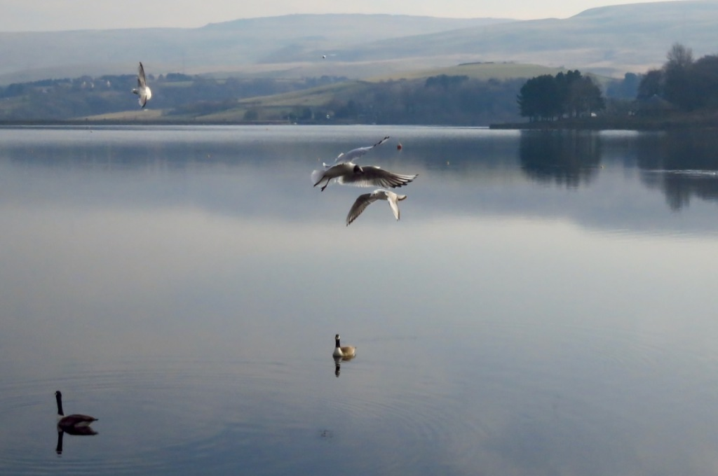 Birds on Hollingworth Lake, 7/3/21