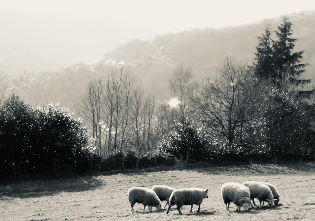 Sheep on hillside, 6/3/21