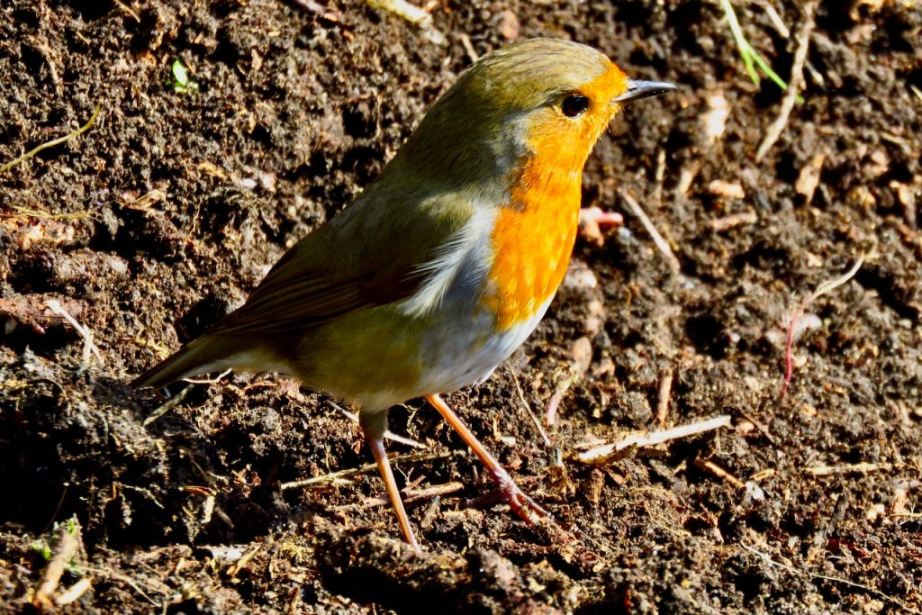 Robin on compost, 2/4/21