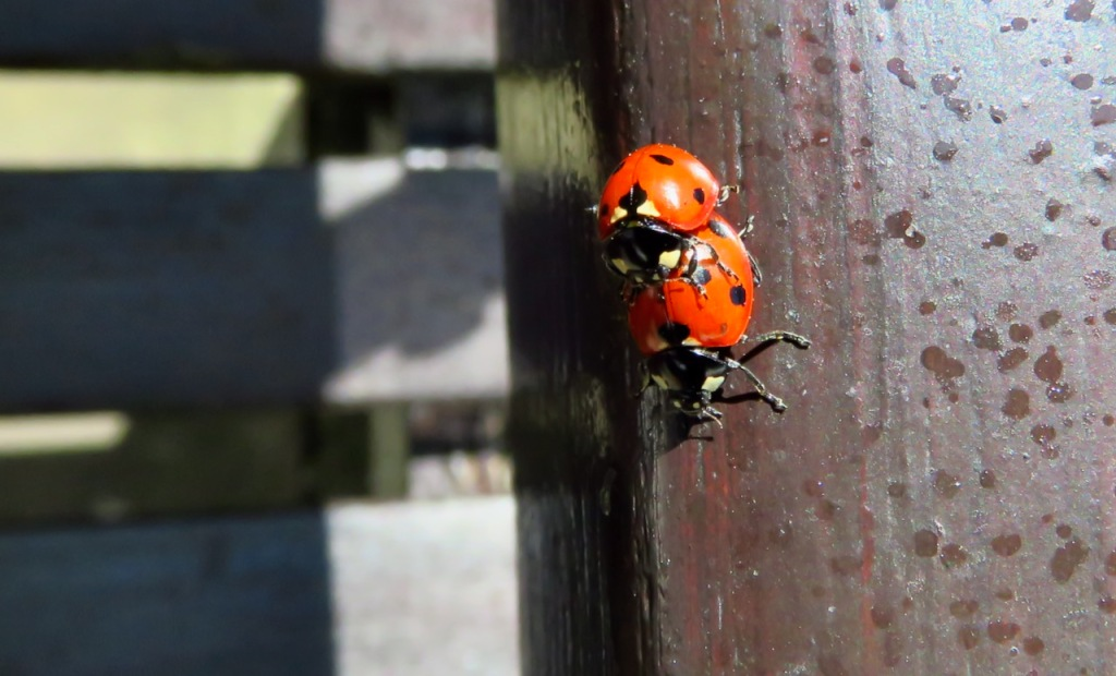 Ladybird love, 23/4/21
