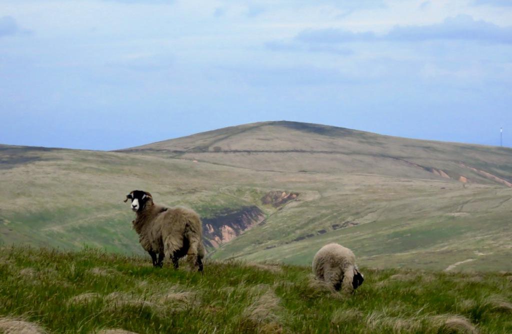 Formal sheep portrait, High Pike, 15/6/21