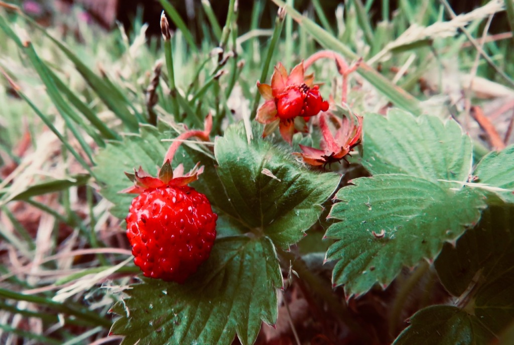 Wild strawberry, 23/6/21