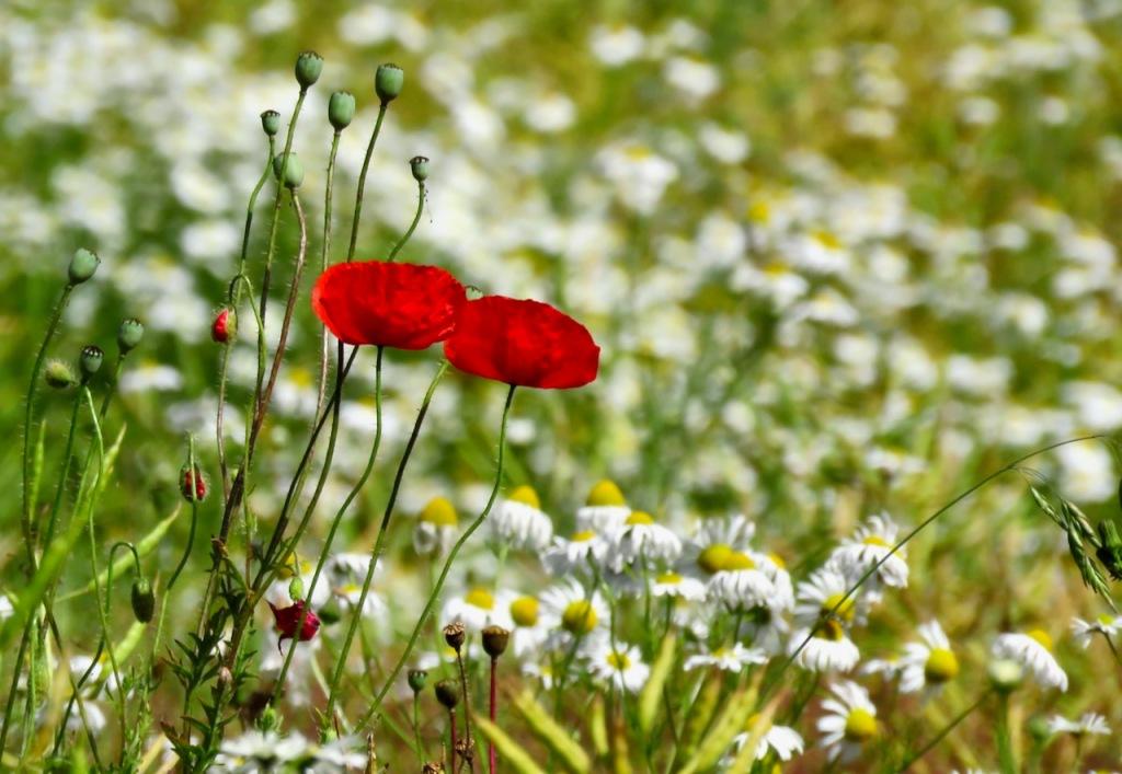 Poppies in field, 14/7/21