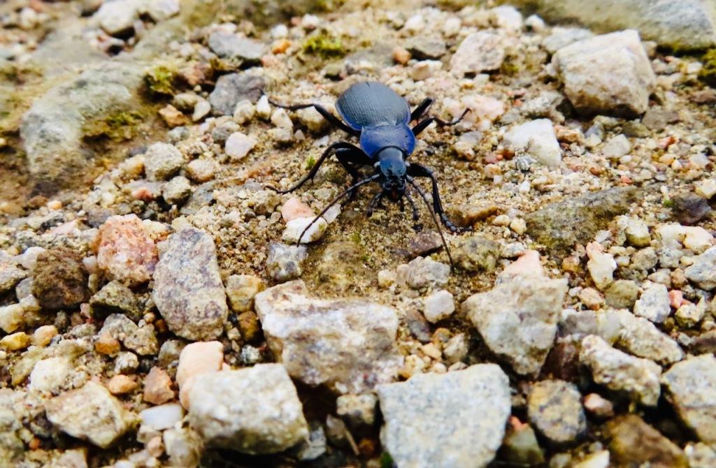 Angry blue beetle, 12/9/21