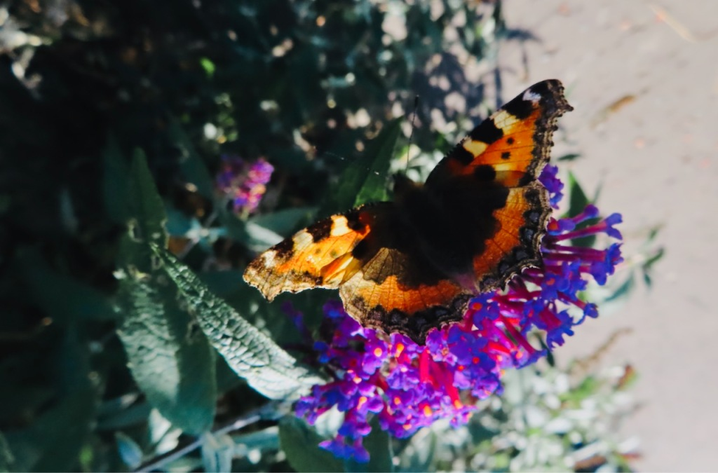 Butterfly on buddleia, 20/9/21