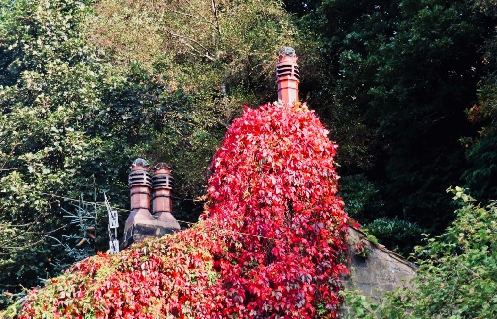Chimney ivy, 26/9/21